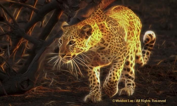 Leopard - Borswana