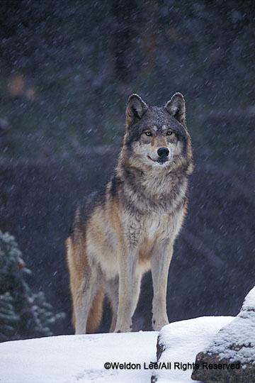 XNIA04  GRAY WOLF  (Canis lupus) captive animal; Kalispell, Montana