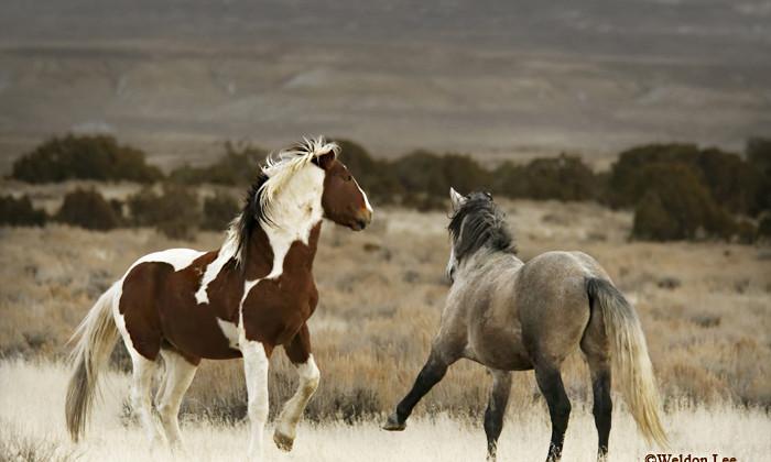 XNMA03  WILD HORSE  (Equus fetus) Sand Wash Basin HMA, Colorado