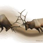 Americak elk, Hwy 20, Cody, Yellowstone National Park, Wyoming