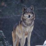 XNIA04  GRAY WOLF  (Canis lupus)captive animal; Kalispell, Montana